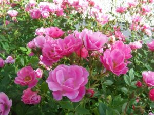 Bulgarian Roses - Go Young Beauty