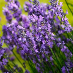 Lavender - Go Young Beauty Anti Aging Skin Care Products